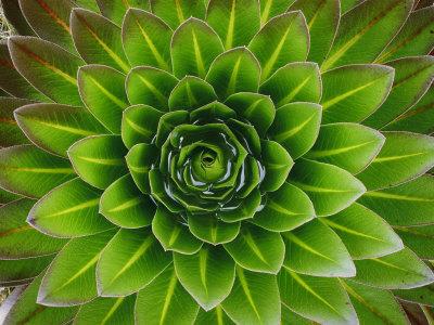 mobley-george-f-a-giant-lobelia-plant